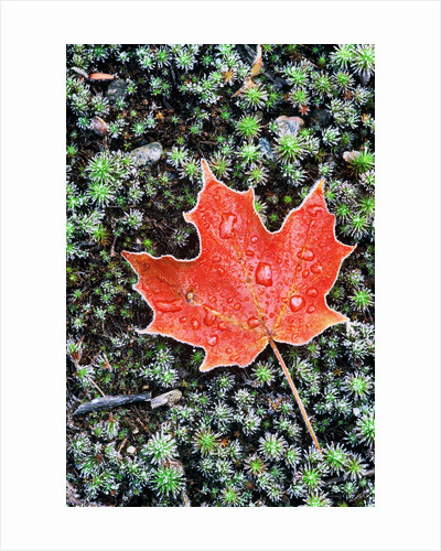 Frost on Autumn Sugar Maple Leaf and Haircap Moss, Muskoka, Ontario, Canada. by Corbis
