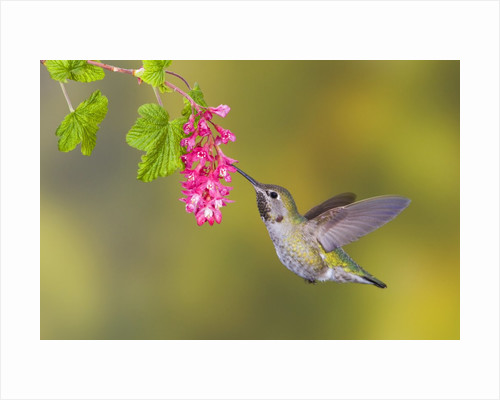 Anna's Hummingbird (Calypte Anna) Feeding at a Red Currant Flower in Victoria, British Columbia, Canada by Corbis