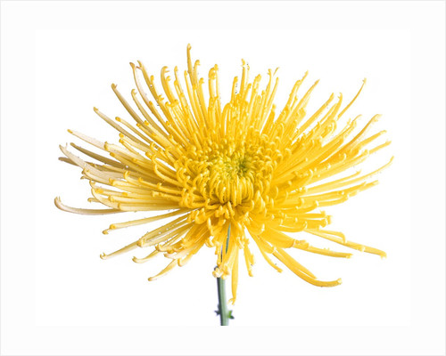 Yellow Chrysanthemum Fuji Flower with Water Droplets by Corbis