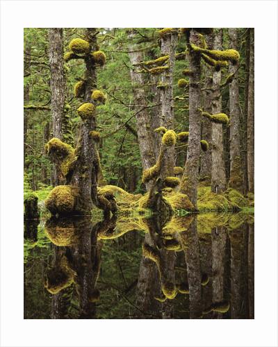 Swamp Forest, Naikoon Provincial Park, Haida Gwaii, British Columbia, Canada. by Corbis