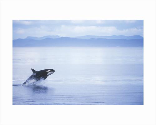 Killer Whale Breaching, British Columbia, Canada. by Corbis