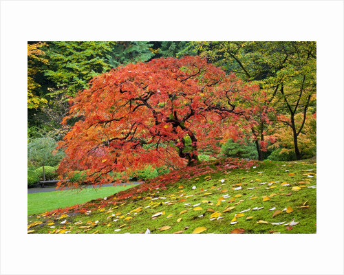 Japanese Maple in garden by Corbis