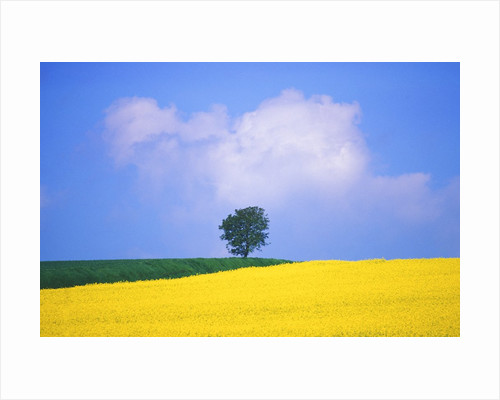 Canola Crop with Lone Tree, Blue Sky and Cumulus Clouds in South of France by Corbis
