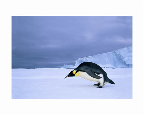 Emperor Penguin (Aptenodytes Forsteri) at the Edge of the Shorefast Ice, Drescher Inlet, 72 Degrees South, Weddell Sea, Antarctica. by Corbis
