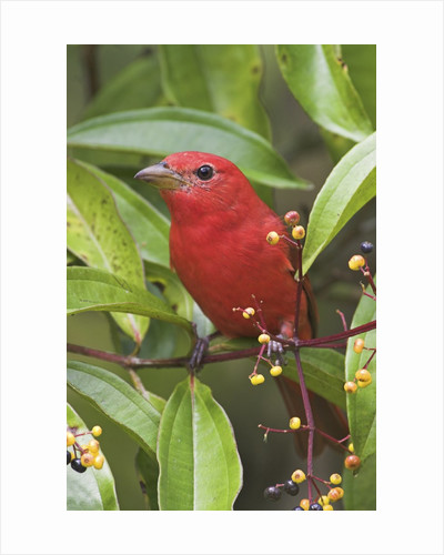 A Male Summer Tanager (Piranga Rubra) in Costa Rica. by Corbis