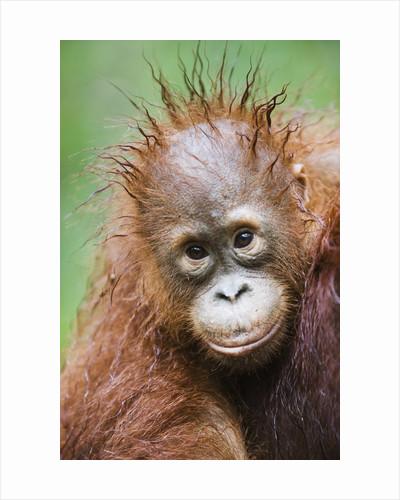 Orangutan baby by Corbis