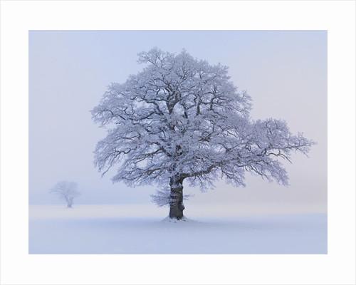 Oaks in winter landscape by Corbis
