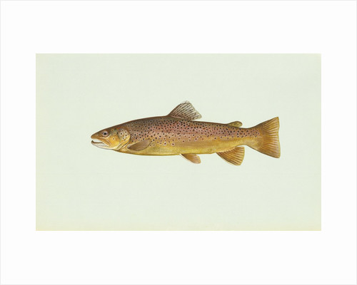 Brown trout by Corbis