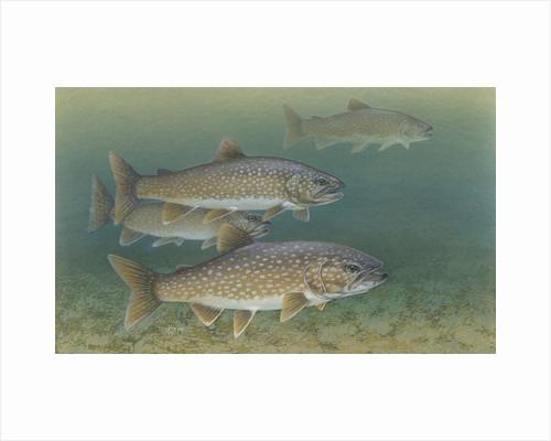 Lake trout by Corbis