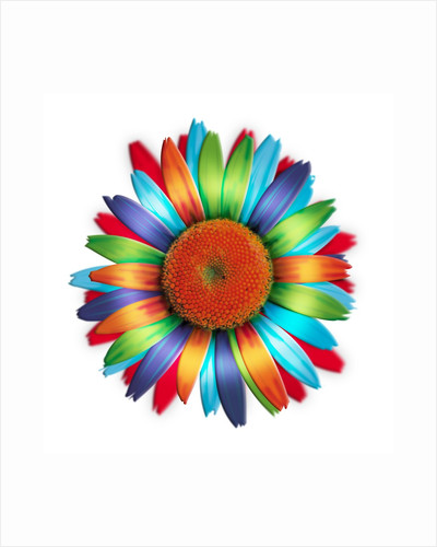 Brightly colored daisy by Corbis