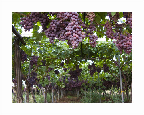 Red table grapes on vine in Basilicata by Corbis