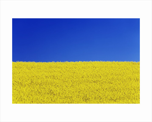 Clear blue sky and rape field by Corbis