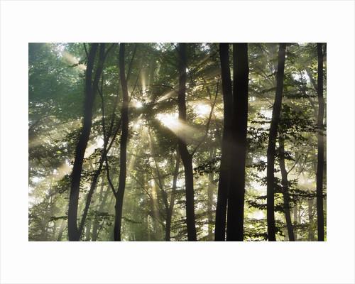 Sunbeams shining through beech forest by Corbis