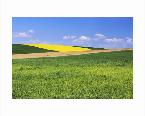 Rape plant field in distance by Corbis