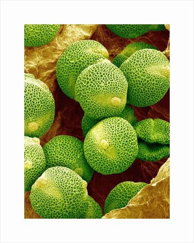 Pollen of Melon by Corbis
