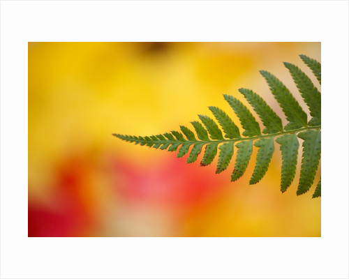 Fern leaf in fall by Corbis