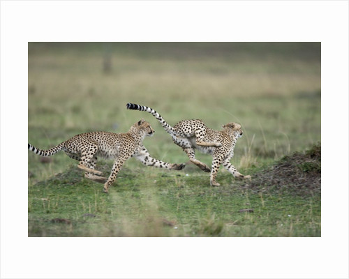 Adolescent Cheetah cubs chasing each other by Corbis