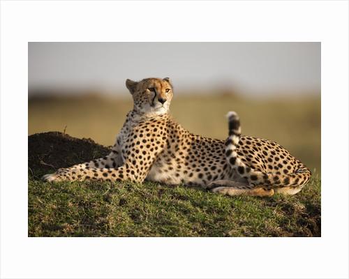 Cheetah resting on termite mound at dawn by Corbis