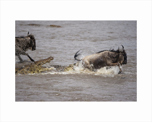 Nile crocodile attacking Wildebeest migrating across Mara River by Corbis