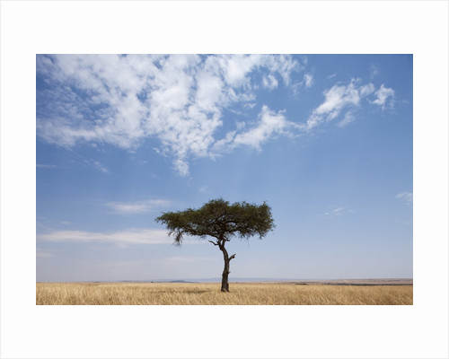 Lone Acacia tree in savanna by Corbis