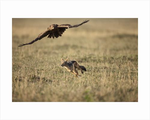 Blackbacked Jackal chasing Tawny Eagle near wildebeest kill by Corbis