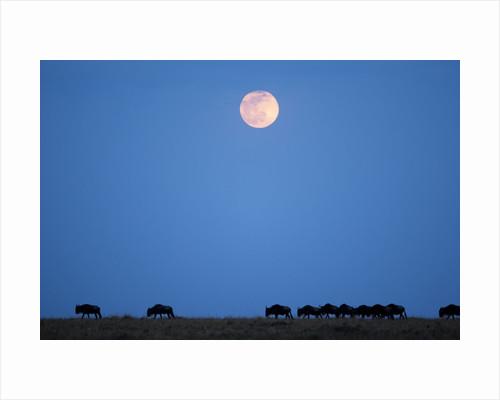 Wildebeest below full moon in Masai Mara National Reserve by Corbis