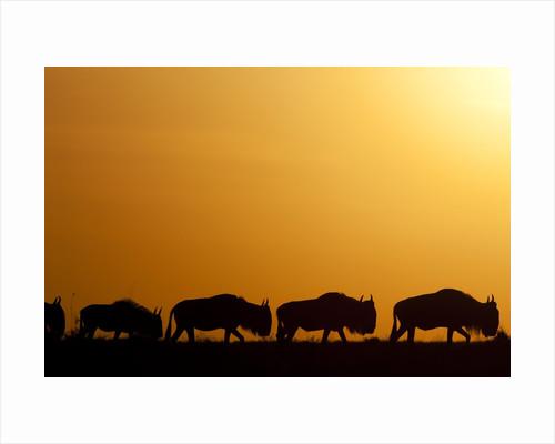 Wildebeest migrating in Masai Mara National Reserve by Corbis