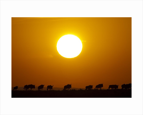 Migrating wildebeest at sunrise in Masai Mara National Reserve by Corbis
