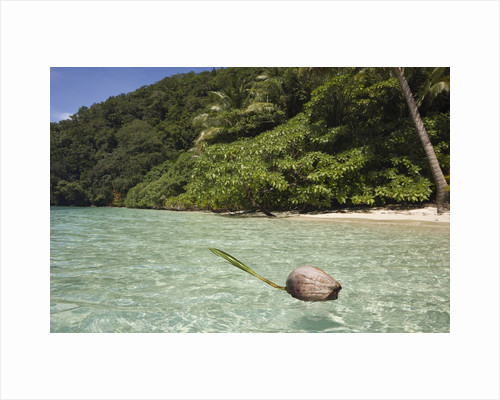Coconut floating in Lagoon, Micronesia, Palau by Corbis