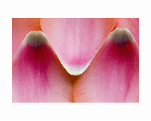 Close-up view of tulip petals by Corbis