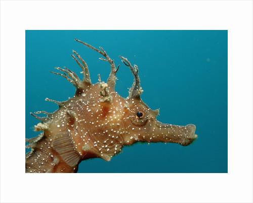 Seahorse head (Hippocampus guttulatus). by Corbis
