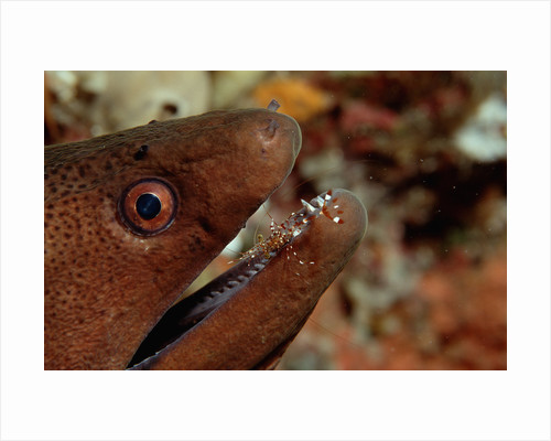 Yellow-margined Moray (Gymnothorax flavimarginatus) and Cleaner Shrimp working around its open mouth by Corbis