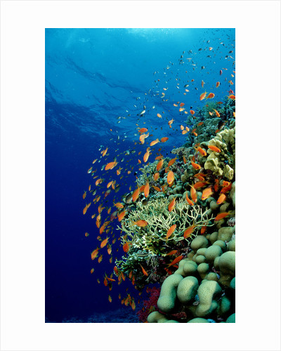 Schooling Lyretail Anthias and near a coral reef. (Pseudanthias squamipinnis) Red Sea by Corbis