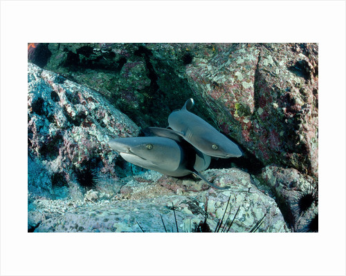 Hunting Whitetip Reef Sharks (Triaenodon obesus), Central America, Pacific Ocean. by Corbis