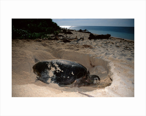 Green Sea Turtle digging a nesting hole on a beach (Chelonia mydas), Pacific Ocean, Borneo. by Corbis