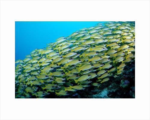 Fivelined Snapper school (Lutjanus quinquelineatus) Indian Ocean by Corbis