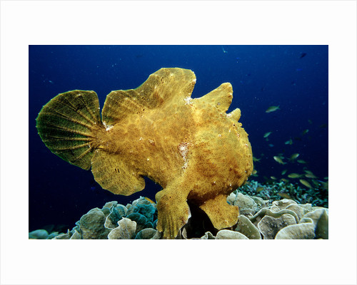 Giant Frogfish (Antennarius commersonii), Pacific Ocean, Panglao Island. by Corbis