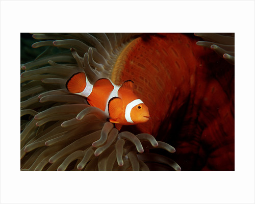 Clown Anemonefish or Clownfish (Amphiprion ocellaris) in a Sea Anemone by Corbis