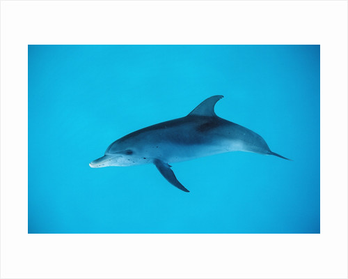 Atlantic spotted dolphin, Stenella frontalis, USA, FL, Florida, Atlantic Ocean by Corbis