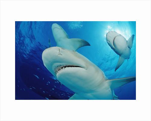 Lemon Sharks, Negaprion brevirostris, Bahamas, Grand Bahama Island, Atlantic Ocean by Corbis