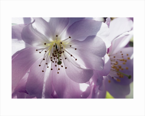 Cherry blossoms by Corbis