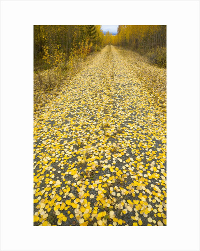 Forest road covered with Aspen leaves in autumn by Corbis