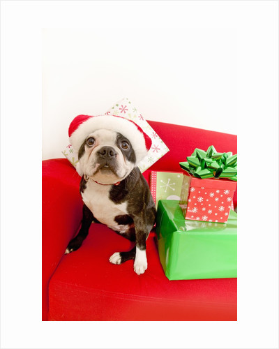 Dog wearing Santa Claus hat next to gifts by Corbis