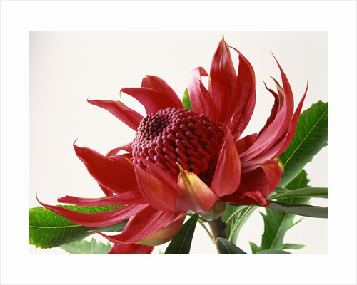 Close Up Image of Red Tropical Flower by Corbis