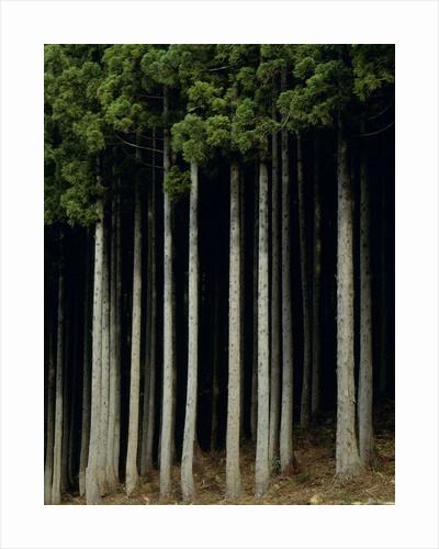Japanese cedar forest, Akita Prefecture, Japan by Corbis