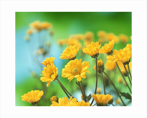 Yellow Chrysanthemums by Corbis