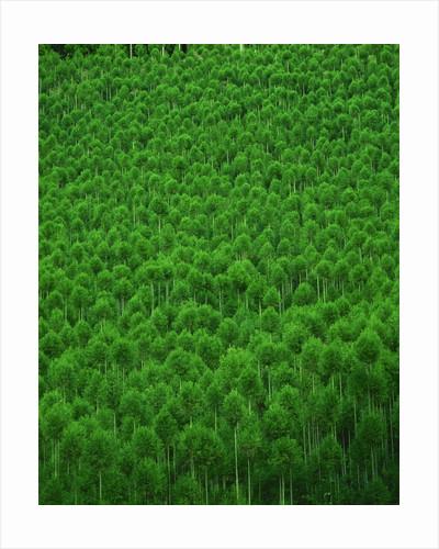 Japanese cedar forest. Nakagawa-machi, Kyoto Prefecture, Japan by Corbis