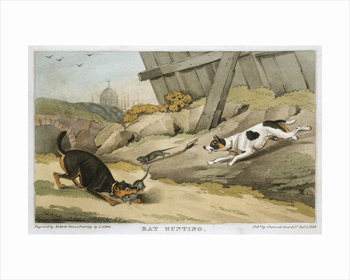 Dogs rat hunting by Corbis