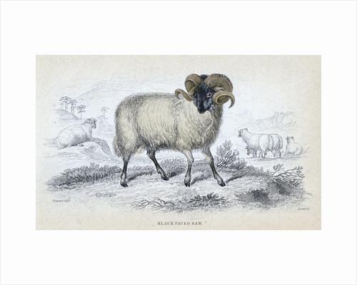 Black Faced Ram by Corbis