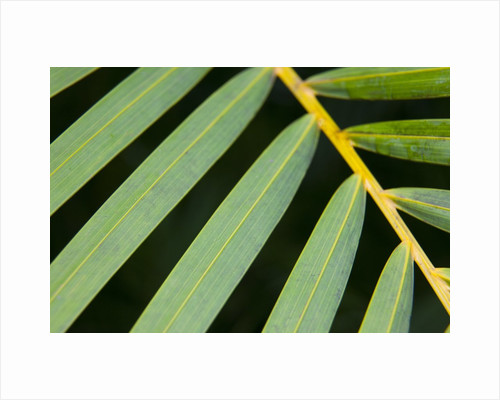 Closeup of palm leaves by Corbis